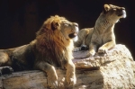 Lion Couple in sun
